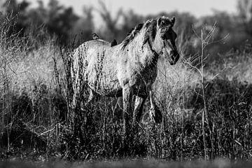 Konik Pferd von Koos de Vries