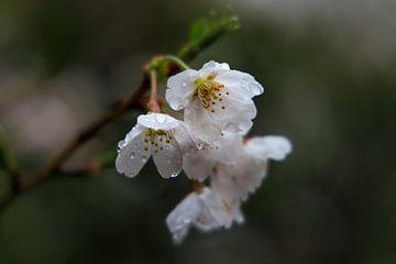 Kersenbloesem in de regen van Bas Rutgers