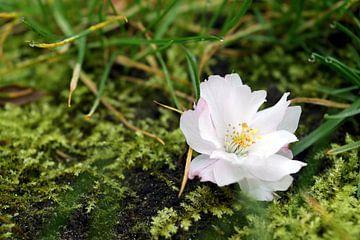 Nahaufnahme einer auf den Boden gefallenen Blüte von Jan Verschoor