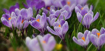 krokussen in Nederlandse lente van Georges Hoeberechts