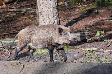 Het wild Zwijn. 1 van de big 5 van Nederland van Merijn Loch