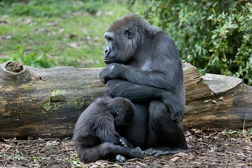 Gorillamoeder met jong van