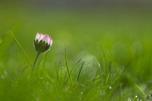 Madeliefje in het gras van