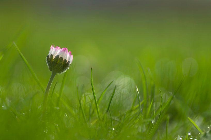 Madeliefje in het gras van Birgitte Bergman