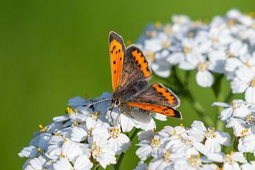 Kleiner Schmetterling von Edwin Benschop