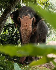 The Sri Lankan Elephant von Ian Schepers