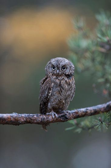 Eurasian Scops Owl ( Otus scops ), perched on a branch of a pine tree, nice clean background, funny