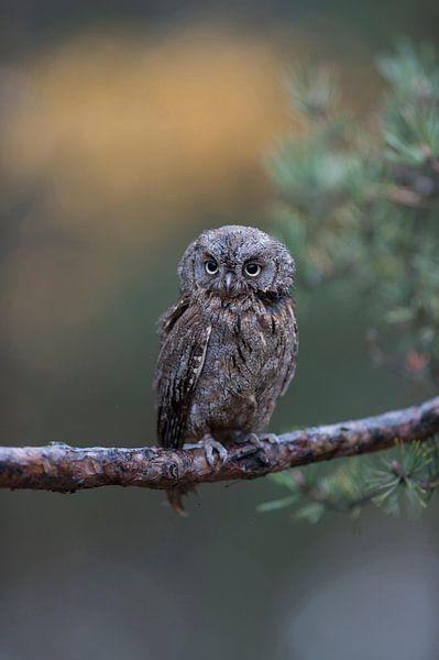 Eurasian Scops Owl ( Otus scops ), perched on a branch of a pine tree, nice clean background, funny  van wunderbare Erde