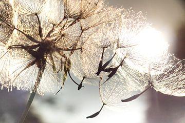 Pusteblume Schirmchenflug von Julia Delgado
