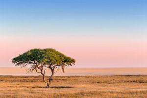 Eenzame Kameeldoorn groeiend voor een uitgestrekte zoutvlakte bij zonsopkomst van Nature in Stock