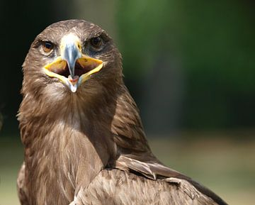 Adler van Roland Klinge