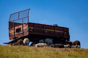 Schafe unter einem alten Traktoranhänger von Kristof Leffelaer