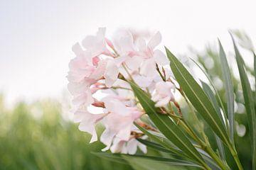 Roze witte oleander | Elba eiland | Italië |Bloem | Natuur van Mirjam Broekhof