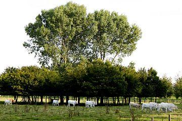 Witte koeien onder een boom op een zonnige dag von André van Bel