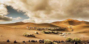 Timanfaya kamelen van
