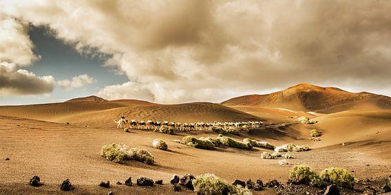 Timanfaya kamelen