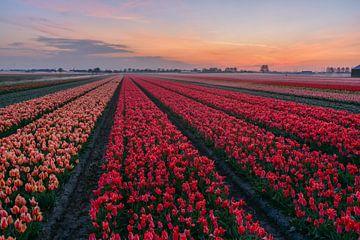 Tulpenvelden in de ochtendmist van Carla Matthee