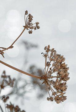 Droogbloem naturel op zwart witte achtergrond van Bianca ter Riet