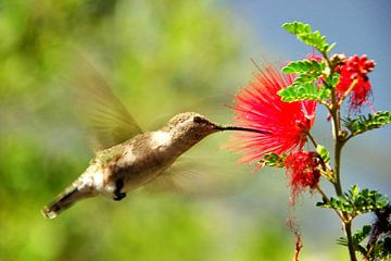 Farbiger Kolibri von Paul van Baardwijk