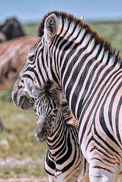 Junges Zebra mit Mutter, Etosha Nationalpark, Namibia
