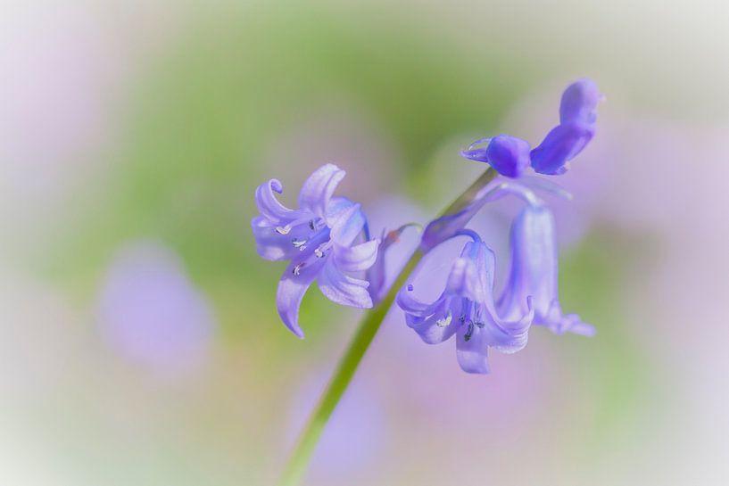 Boshyacint in de bloei van Karla Leeftink