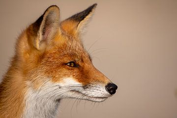 Porträt eines Fuchses von Ed Klungers