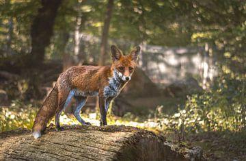 Un renard roux attentif sur lichtfuchs.fotografie