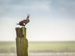 Cormorant Call