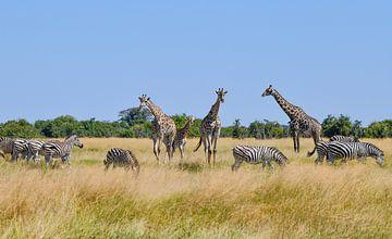 Giraffen en zebra's van Robert Styppa