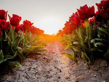 Un chemin de tulipes rouges sur