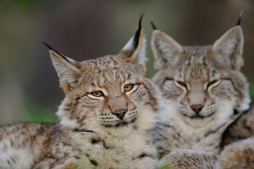 Head portrait of two Eurasian Lynx ( Lynx lynx ) laying next to each other, Europe. van wunderbare Erde