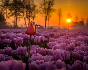 Buitenbeetje in roze tulpenveld von Dennis Werkman