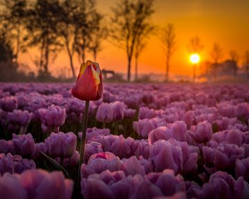 Buitenbeetje in roze tulpenveld van
