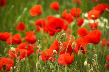 Poppies von Ad Jekel