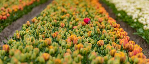 Alone in the crowd. Mooi hoe die ene tulp er bovenuit komt. van Alex Hiemstra