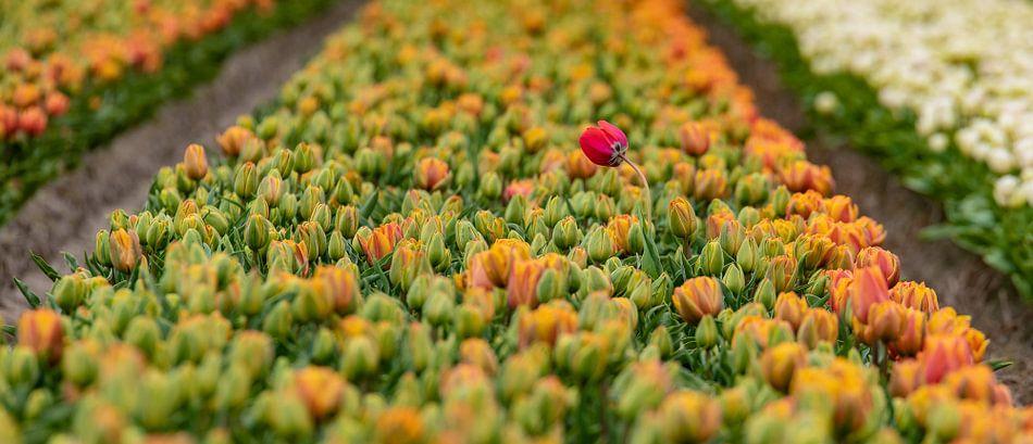 Alone in the crowd. Mooi hoe die ene tulp er bovenuit komt.