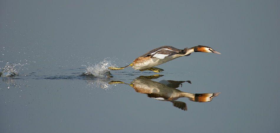 Fuut loopt over het water van Erik Veldkamp