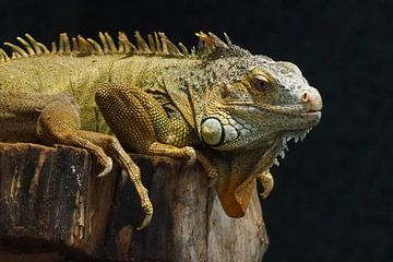 Grüner Leguan :Ouwehands Dierenpark von Loek Lobel