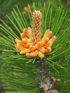Knop van een dennenboom in bloei op Ameland van Helene Ketzer