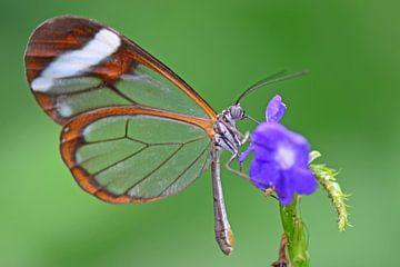 Glasvleugel vlinder van Rene Mensen
