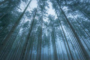 Vue vers le haut sur les pins de la forêt de Speulderbos dans la Veluwe en hiver. sur Sjoerd van der Wal