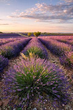 Lavendelblüte in der Provence von Achim Thomae