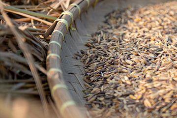 Rijst oogsten van Ellis Peeters