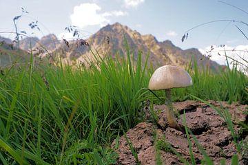 Un champignon qui pousse sur une parcelle de vache sur Toni Stauche