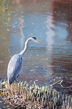 Blauwe reiger op uitkijk van Lendy Fotografie .
