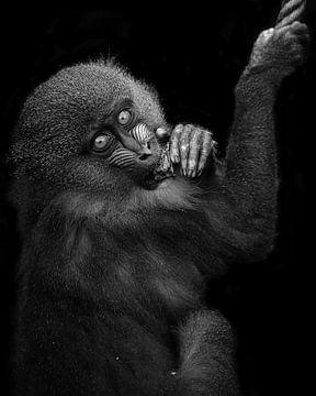 Jong Mandril kijkt je recht aan in zwart wit van Patrick van Bakkum