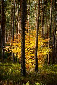 Beuk in een Dennenbos