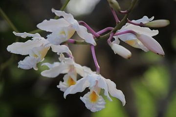 Orchideen in freier Wildbahn auf Bonaire. von Silvia Weenink