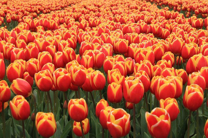 Sea of collors . Tulpen van Marcel van Rijn