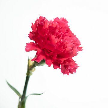 Rosa Blume von Noud de Greef